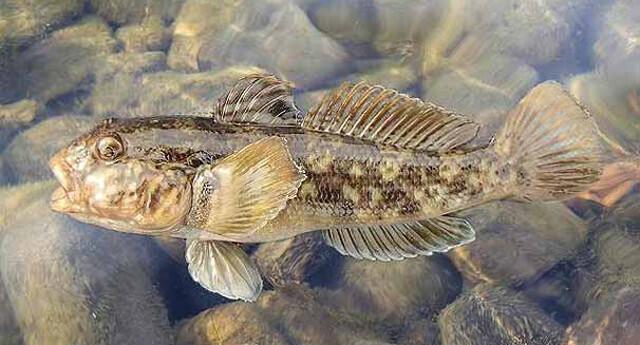 İngiliz nehirlerinde yabancı tür balık endişesi!